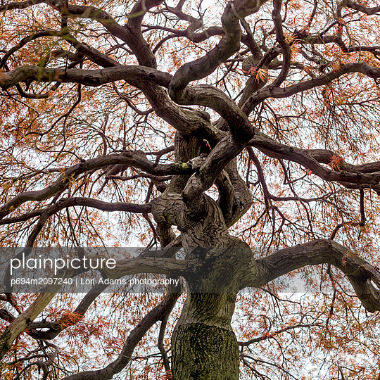 Low Angle View of Cutleaf Japanese Maple Tree with Orange Leaves - p694m2097240 by Lori Adams