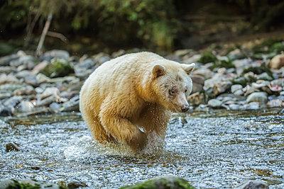 Spirit Bear, or Kermode Bear (Ursus americanus kermodei) fishing in the Great Bear Rainforest; Hartley Bay, British Columbia, Canada - p442m2008899 by Robert Postma