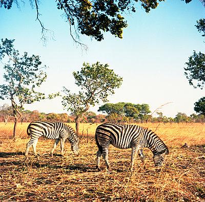 Two zebras - p1160m951390 by Emilie Reynaud