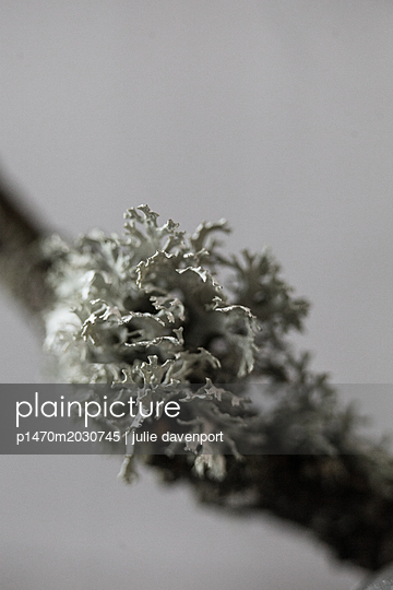 close up of lichen on branch - p1470m2030745 by julie davenport