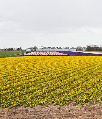 Flower field - p1059m815168 by Philipp Reiss