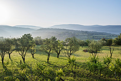 Olive trees and vine in Southern France - p954m1585908 by Heidi Mayer