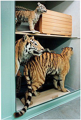Tigers - p1205m1020913 von Annet van der Voort