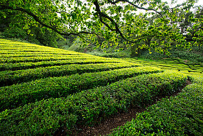 Rows of growing tea in Azores tea plantation - p343m1443438 by Chris Pinchbeck