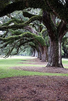 Row of Southern Live Oak Trees, Charleston, South Carolina, USA - p694m663717 by Maria K