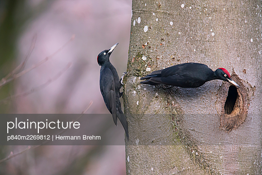 Black Woodpecker (Dryocopus martius) male and female, at the nesthole, Germany. December - p840m2269812 by Hermann Brehm
