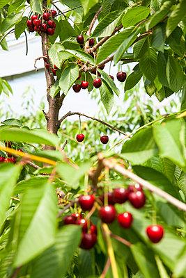 Kirschen am Baum - p902m1065129 von Mölleken