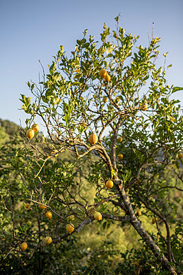 Lemon tree - p1059m1502053 by Philipp Reiss
