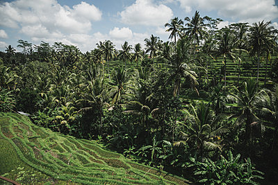 Palmen und Reisterrassen  - p1290m1168839 von Fabien Courtitarat