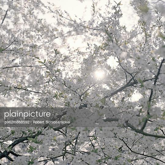 Kirschblüte - p962m668592 von Robert Schlossnickel