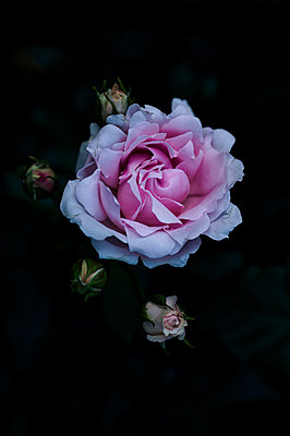 Roses - p1088m1034540 by Martin Benner