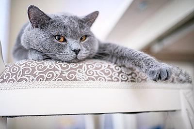 British Shorthair cat lying on chair at home - p300m2198628 by Ekaterina Yakunina