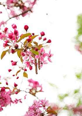 Zierapfelblüte - p606m900699 von Iris Friedrich
