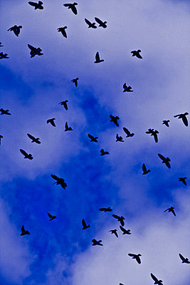 Pigeons and blue sky - p8620025 by Michel Gile