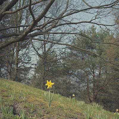 Daffodil - p444m924684 by Müggenburg