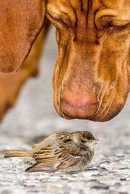 Vizsla dog sniffing at injured sparrow - p739m1042311 by Baertels