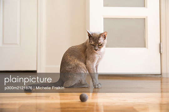 Tonkinese cat playing with felt ball - p300m2121676 by Michelle Fraikin