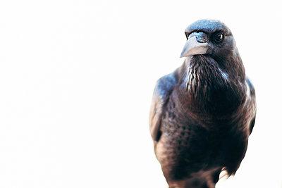 Porträt einer Kapkrähe, Kalahari, Südafrika - p1065m982608 von KNSY Bande