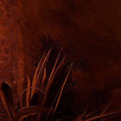 Agaves growing near stone wall, night shot - p1624m2223733 by Gabriela Torres Ruiz
