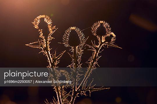 Thistle in dawn - p1696m2293057 by Alexander Schönberg
