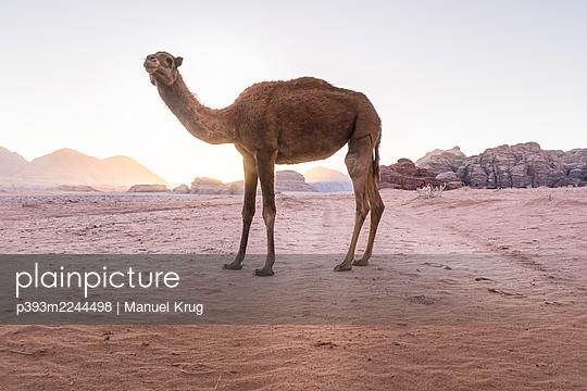 Jordan, Camel in the desert - p393m2244498 by Manuel Krug