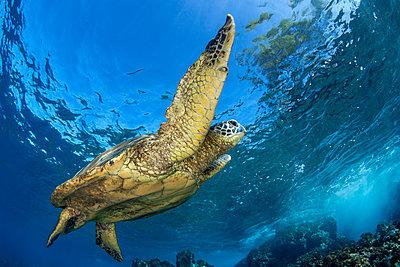 Hawaiian Green Sea Turtle (Chelonia mydas); Maui, Hawaii, United States of America  - p442m1578820 by Jenna Szerlag