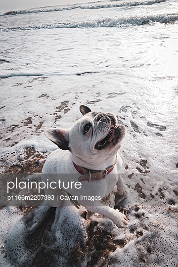 French bulldog playing in the beach on sunset - p1166m2207893 by Cavan Images