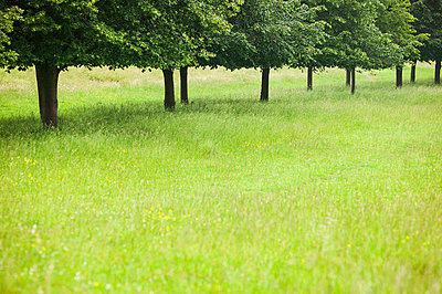A line of trees in tall grass in the english countryside - p1057m813688 by Stephen Shepherd