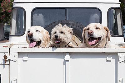 Drei Hunde auf der Ladefläche eines Pick-up's - p1082m2065505 von Daniel Allan