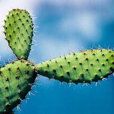 Cactus against sky, low angle view - p312m720217f by Bruno Ehrs