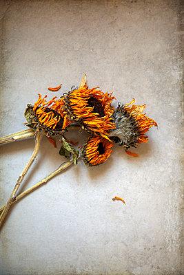 Verwelkte Sonnenblumen mit Blütenblättern - p1248m2297934 von miguel sobreira