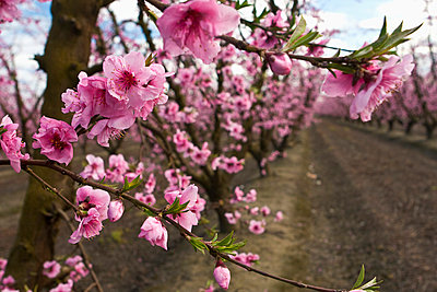 Agriculture - Closeup of peach blossoms at the full bloom stage with the orchard in the background / near Dinuba, California, USA. - p442m1033671f by Steve Goossen
