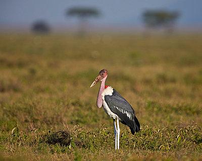 Marabou stork , Ngorongoro Conservation Area, UNESCO World Heritage Site, Serengeti, Tanzania, East Africa, Africa - p871m1056793f by James Hager