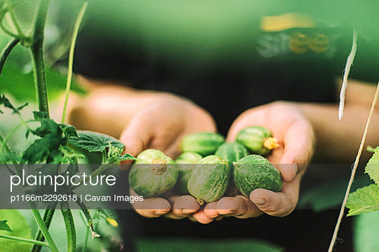 A woman picks a cucumbers from her garden - p1166m2292618 by Cavan Images