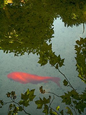 Roter Fisch - p1021m2087574 von MORA
