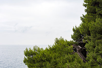 Pinus pinea, Istrien - p220m1083125 von Kai Jabs