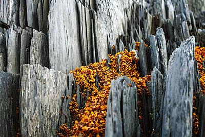Seaweed between slate, Finnmark, Norway - p1168m2205477 by Thomas Günther