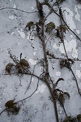Dry plant - p1199m1026175 by Claudia Jestremski