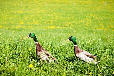 Walking ducks - p533m1039588 by Böhm Monika