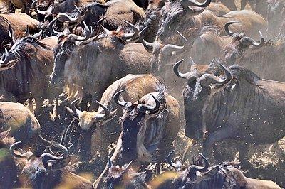 Wildebeest Migration - p1166m2146636 by Cavan Images
