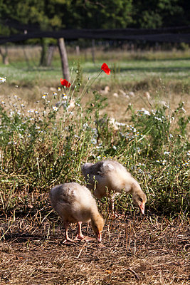 Gänseküken - p739m668800 von Baertels