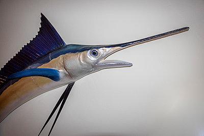 Trophy swordfish on wall - p1418m2053868 by Jan Håkan Dahlström