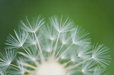Dandelion seedhead, close-up - p624m699334f by Odilon Dimier