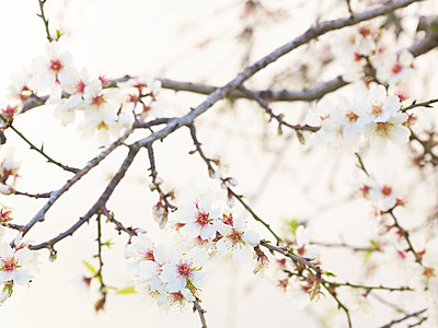 Almond flower - p885m1087436 by Oliver Brenneisen