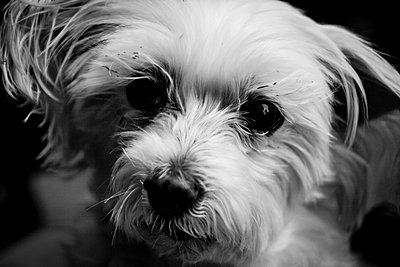 A cute dog in Tokyo, Japan. - p934m1177240 by Dominic Blewett