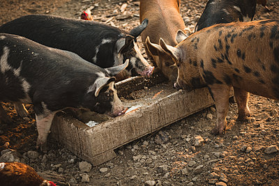 Pig eating a food in farm on a sunny day - p1315m1518456 by Wavebreak