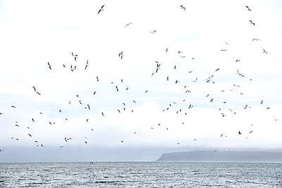 Iceland, Seagulls - p1643m2229357 by janice mersiovsky