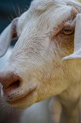 Close-up of a goats face - p1047m1564912 by Sally Mundy
