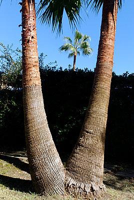 Zwei Große; eine kleine Palme - p260m758360 von Frank Dan Hofacker