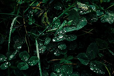 green leaves with raindrops on in the forest - p1166m2148537 by Cavan Images
